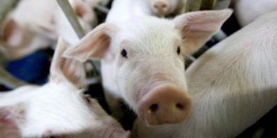 Свинокомплексы Омской области получат налоговые льготы